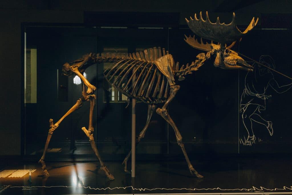 Archäologie im Unterricht - Skelett eines Elches